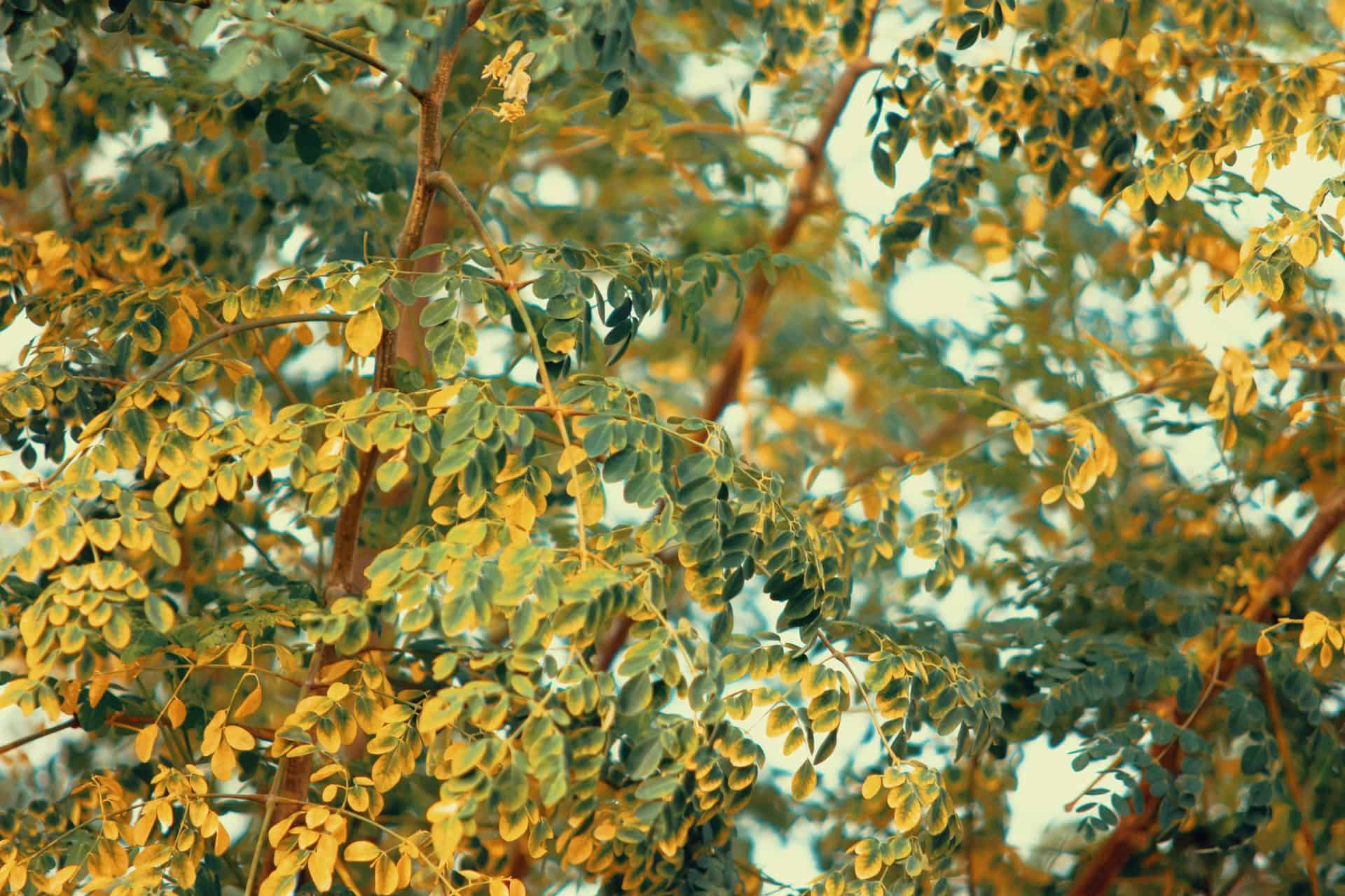 Moringa – vom Wunderbaum – zur Powerkapsel
