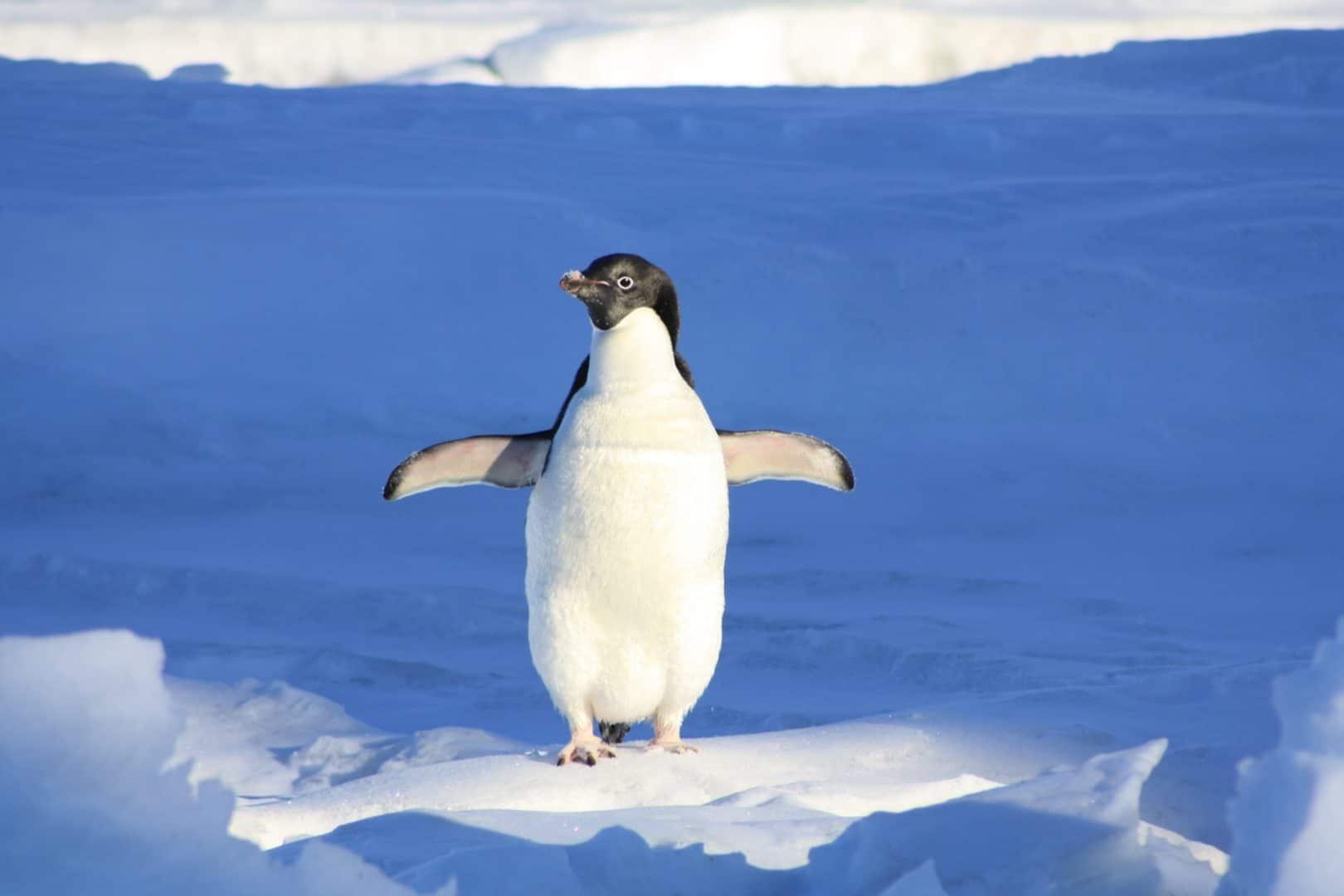 Pingu on Ice