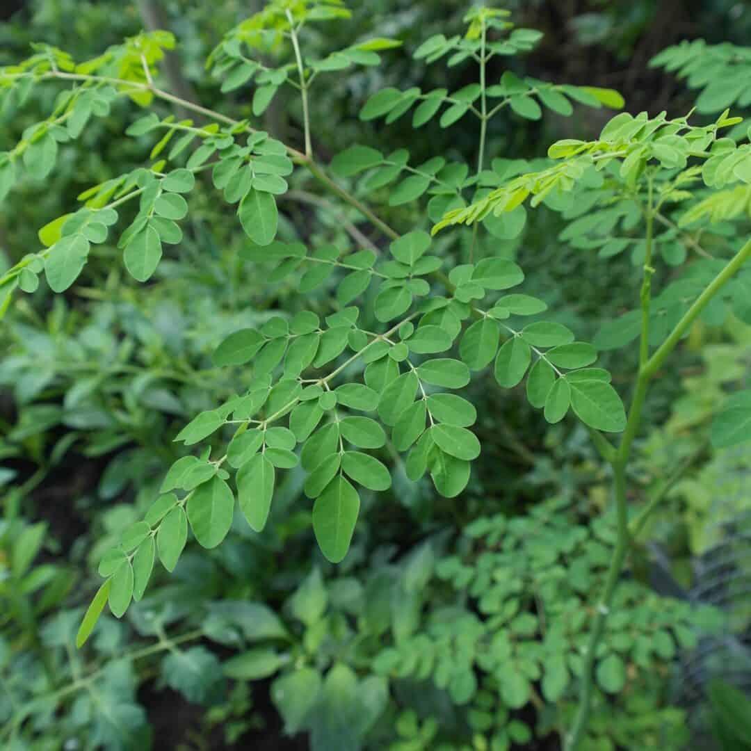 Moringa – wird die Welt damit ein klein wenig besser?