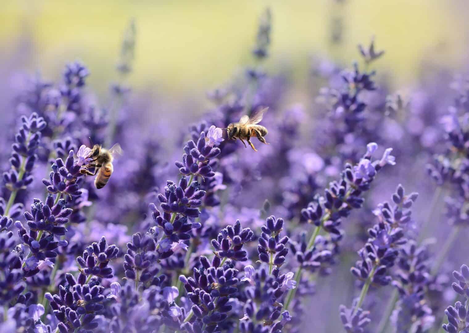 Lavendelbalance – Endlich durchschlafen