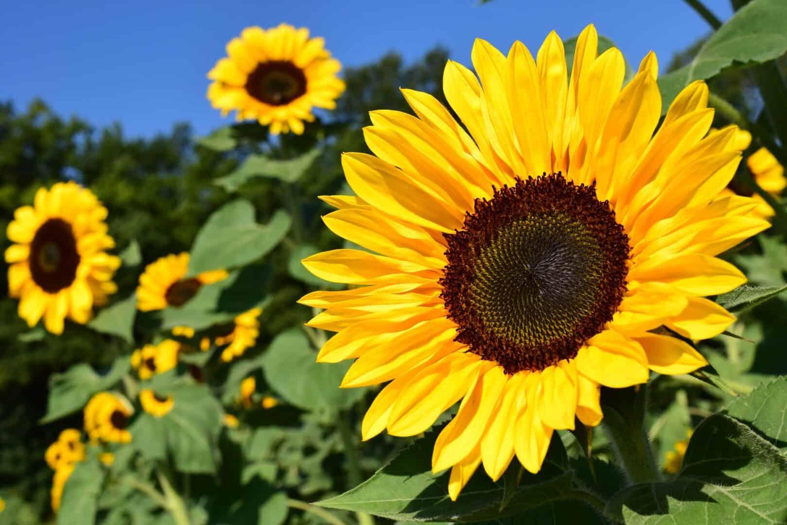 Die Sonnenblumen-Sprossen